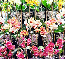 Colorful  Orchids by exoticflowing