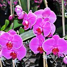 Pink Pink Orchids by exoticflowing