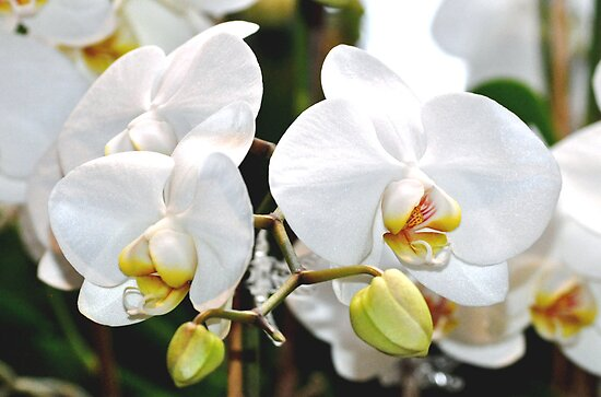 White Orchids by exoticflowing