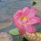 Lotus flower in Lagoon, North Queensland Australia by Zeefive Photos