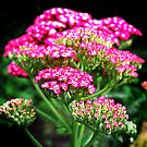 Pink Yarrow by Rewards4life