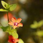 Scarlet Pimpernel by bared