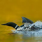 Loon Lift Off by Bill Maynard