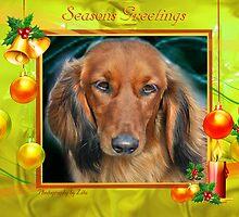 CC99 - Long Hair Dacshund by zitavaf