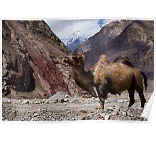 Camel on the Karakoram Highway Poster