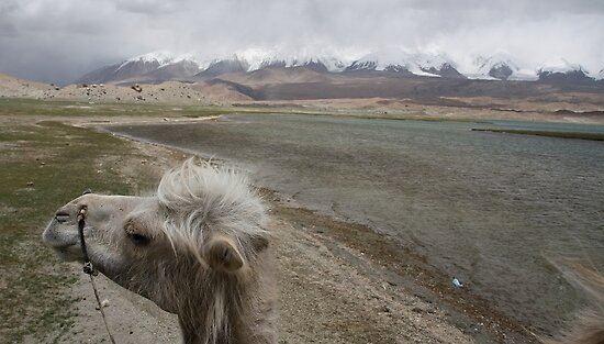 Camel at Lake Kara Kul by Gillian Anderson LAPS, AFIAP