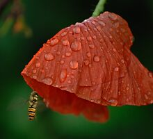 Red poppy with drops and insect by Antanas
