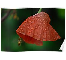 Red poppy with drops and insect Poster