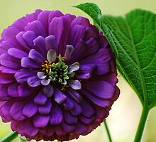 Purple Zinnia by barnsis