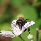 Humble Bumble Bee 2 by LorrieBee