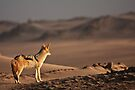 Black-backed jackal's golden view by Owed to Nature