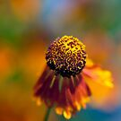 A little Sneezeweed Blossom by alan shapiro