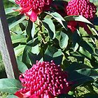 Waratah in full bloom, Strath Creak, Vic, Australia by Margaret Morgan (Watkins)