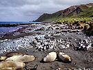 Southern Elephant Seals, Macquarie Island  by Carole-Anne