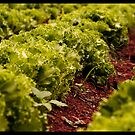 in a row - lettuce farm by Nilesh Gawde