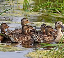 Momma duck and her kids by Jim Cumming