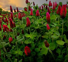Red Clover by Charles & Patricia   Harkins ~ Picture Oregon