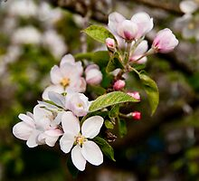 Apple Blossom Time by Tom Allen