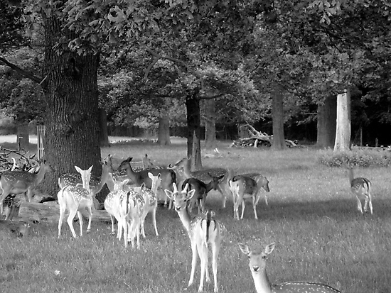 Richmond Park Deer by Sarah Vernon