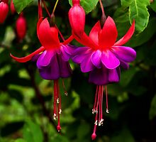 Fuchsias   by Susie Peek