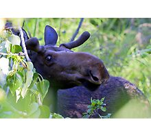 Young bull moose in the woods Photographic Print