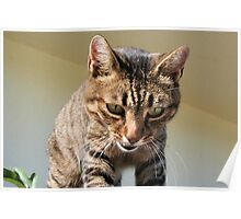 Tabby Cat Looking Down From A Height Poster