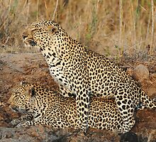 Leopards Mating 3 by Kevin Jeffery