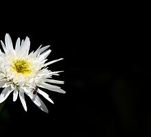 White Daisy Stands Out From the Shadow by Lisa Knechtel