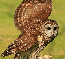 Barred Owl by fotogirl85