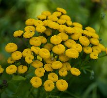 Tansy. by Ron117