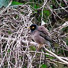 Common Mynah in twisted surroundings by Shiju Sugunan