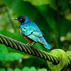 Superb Starling by IngeHG