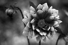 Dahlia in black & white by Audrey Clarke