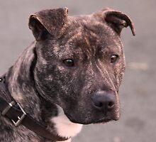 Mia : Staffordshire Bull Terrier by AnnDixon