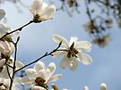 White Magnolia Flower Tree art prints Spring by BasleeArtPrints