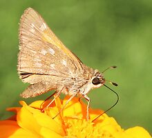 Skipper Butterfly on Marigolds by SusieG