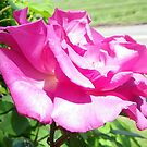 Roses pretty in pink by Tammy Devoll