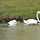 Swans Lazy Day by basalt101