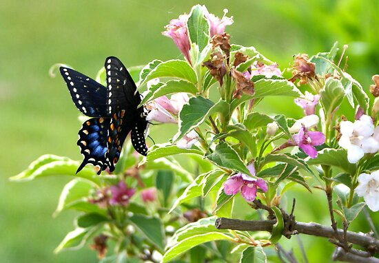 Butterfly Black and Blue by basalt101