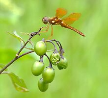 Eastern Amberwing. by William Brennan