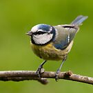 Blue tit with peanut by Margaret S Sweeny