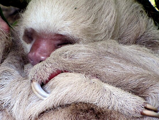 Two Toed Sloth by Leeanne Middleton