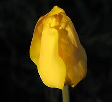 Yellow Tulip by Kathi Arnell