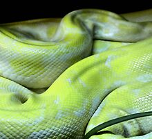 Constrictor by SuddenJim