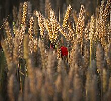 Poppies in the corn. by fotopro