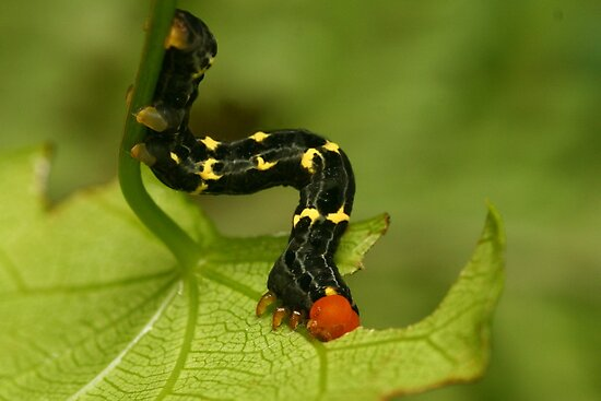Hungry caterpillar by Michael Matthews