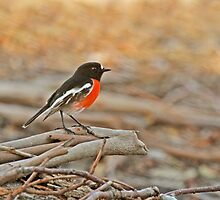 Foraging Scarlet Robin by Robert Abraham