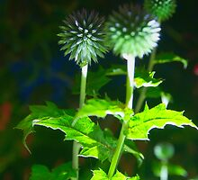 Echinops by Night by 7horses