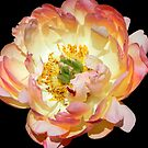 Peony in her glory!!! © by Dawn M. Becker