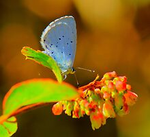 Holly Blue Butterfly, Baydale Beck, County Durham,England by Ian Alex Blease